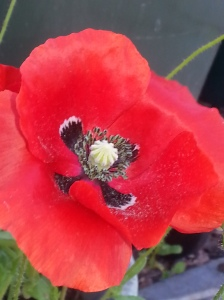 A summer poppy...