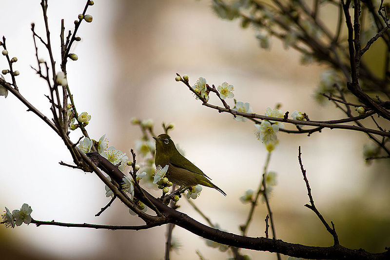 800px-bird_amidst_cherry_blossoms