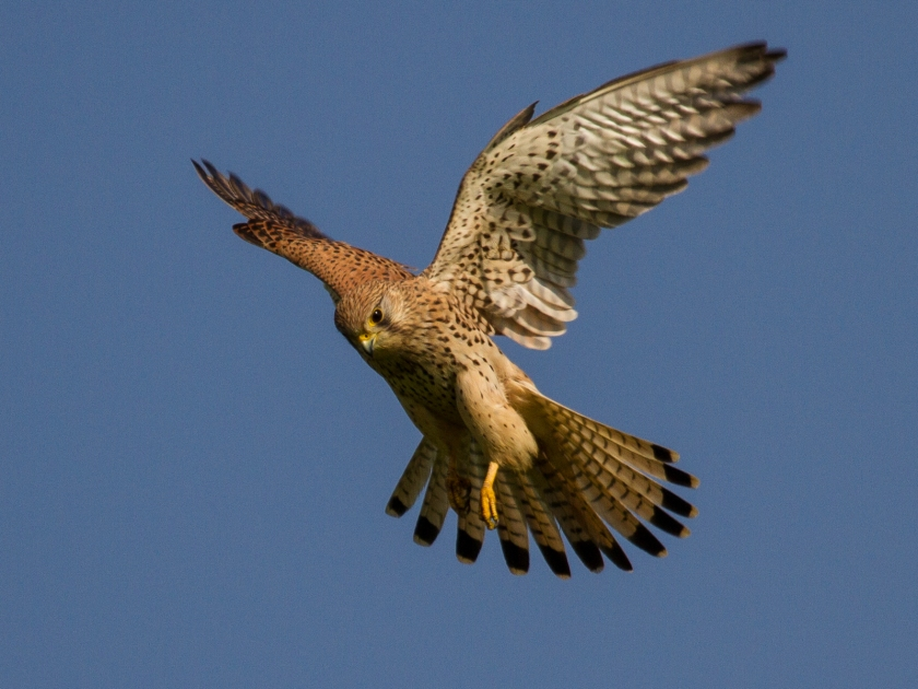 common_kestrel_in_flight