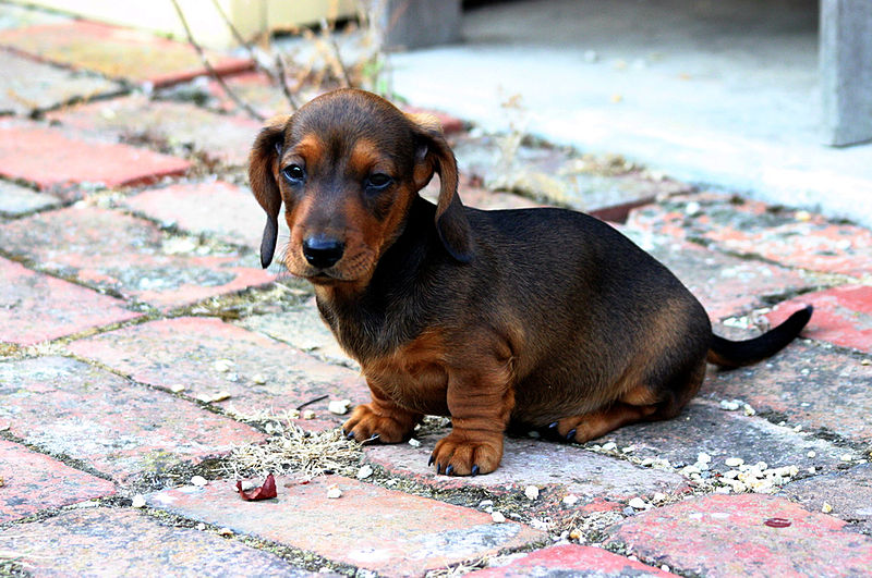 800px-smooth_miniature_dachshund_puppy