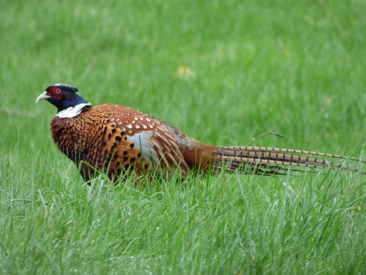 Charlie the pheasant…